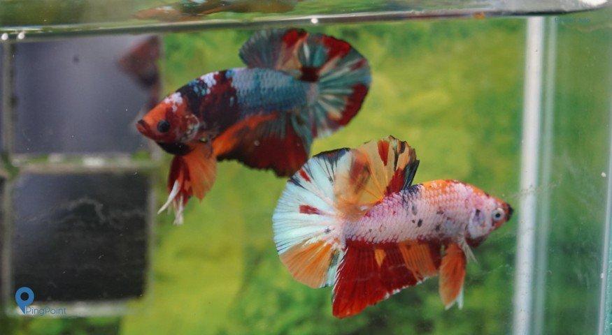 Ini Tips Memelihara Ikan Cupang Untuk Pemula Ala Ivanplastik