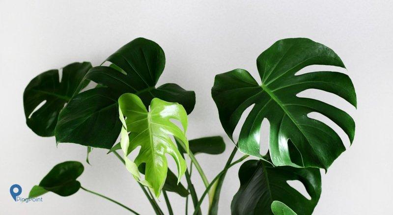 Meskipun Mudah Begini Cara Merawat Tanaman Philodendron Anda